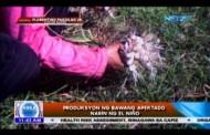 Produksyon ng bawang apektado na rin ng El Niño