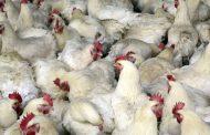 DA, hinimok ng kamara na inspeksyunin din ang lahat ng poultry farm sa iba pang panig ng bansa