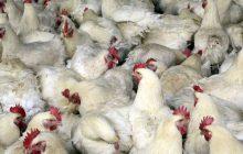 Presyuhan ng manok sa pampublikong pamilihan apektado ng bird flu outbreak