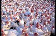 Culling sa mga poultry sa San Luis Pampanga, natapos na ayon sa DA