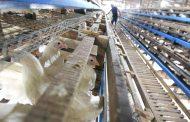 DA, inaalam pa ang kabuuang pinsala ng bird flu sa poultry industry