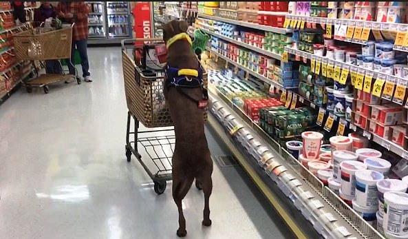 Service dog, tumutulong sa pag-grocery