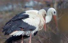 Lalaking stork na nagta-travel ng 14,000 kilometer kada taon para makapiling ang kaniyang handicapped mate