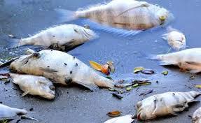 Mga epekto sa kalusugan kapag nakakain ng isdang namatay saFish Kill
