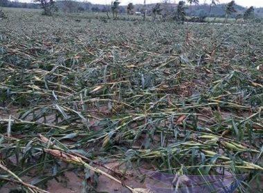 Pinsala ng bagyong Ompong sa Agricultural sector, nasa 14.3 Bilyong piso - NDRRMC