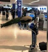 Alagang Peacock, tinangkang isama sa flight ng isang pasahero
