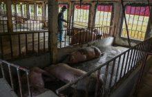DOH nilinaw na walang dapat ipangamba ang publiko sa African swine flu