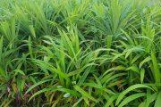 Pandan leaves, maaaring makatulong sa ilang uri ng sakit ayon sa  eksperto