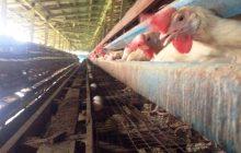 Isang poultry farm sa San Luis, Pampanga, pinagmulan ng bird flu outbreak