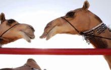 Camel beauty pageant sa Al-Dhana, Saudi Arabia