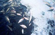 Suplay ng bangus sa bansa hindi magkukulang kahit may fishkill sa Dagupan, Pangasinan - BFAR