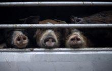 Kaso ng African swine fever sa bansa, konrolado pa rin ng Department of Agriculture - Malakanyang