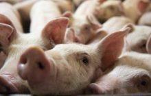 Barangay Commonwealth sa Quezon City, nagpositibo sa African Swine fever
